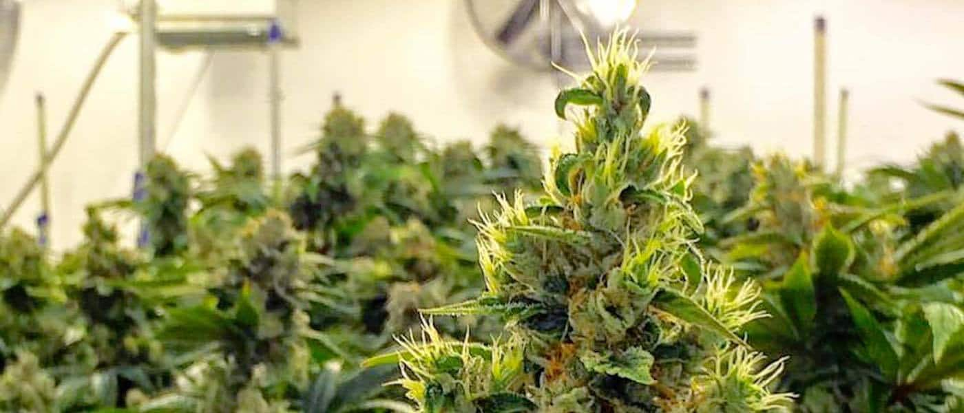 grow-weed-indoors-guide-header-weed