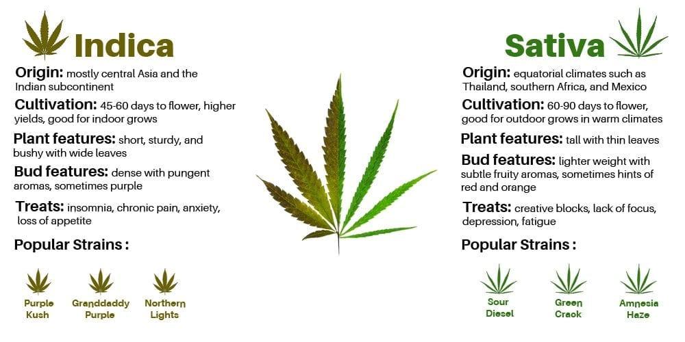 indica vs sativas infographic