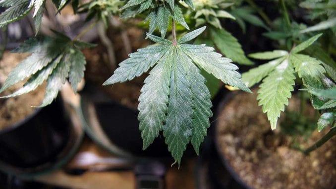 Mold on a Cannabis Leaf