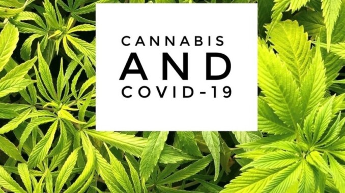 cannabis and covid 19